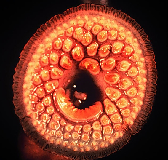 Sea_Lamprey_mouth